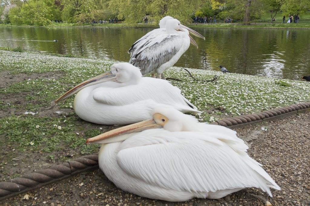American White Pelican / Nashornpelikan (Pelecanus erythrorhynchos)