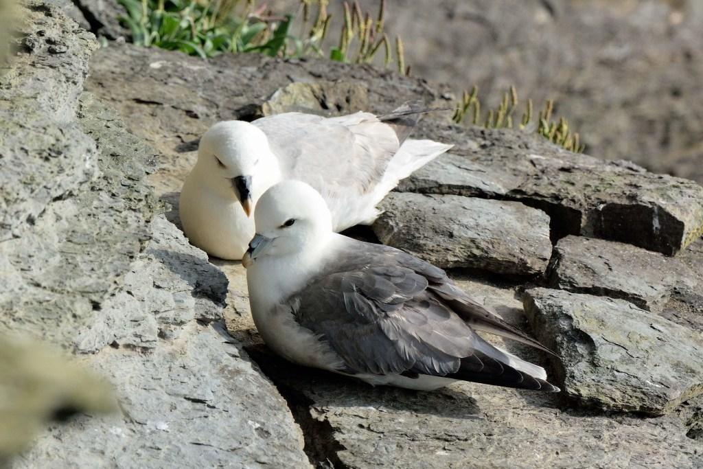 Die Vogelfelsen von Hermaness
