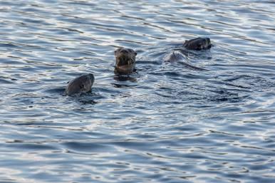 Fischotter, Algonquin Provincial Park