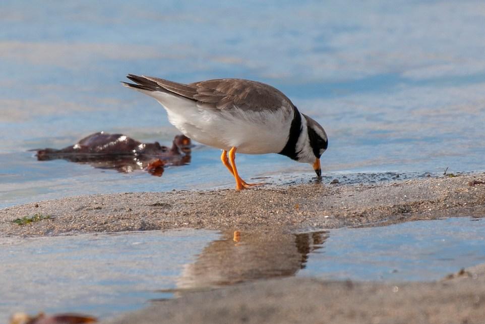 Der Sandregenpfeifer - Seevogel des Jahres 2018