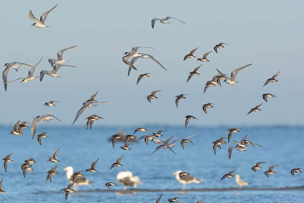 Überflieger - Vögel im freien Flug