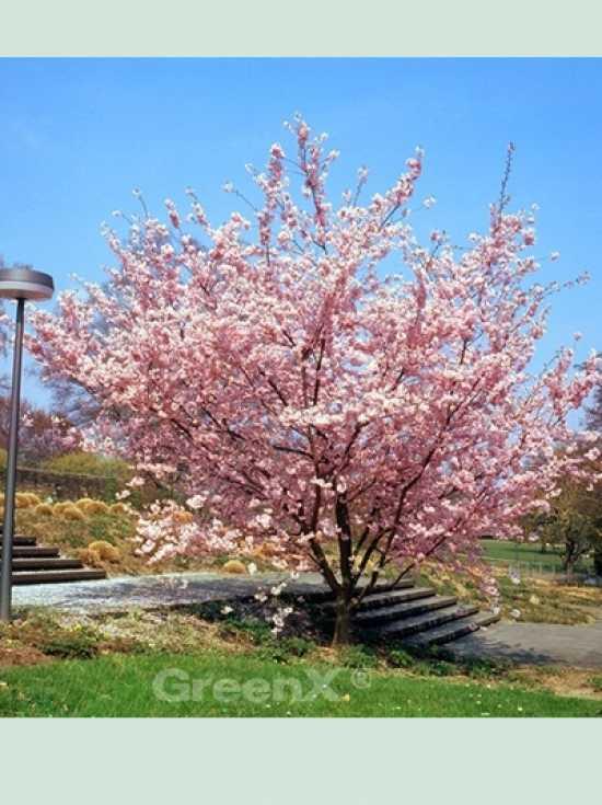 Kirsche Prunus G 252 Nstig In Top Baumschulqualit 228 T Kaufen