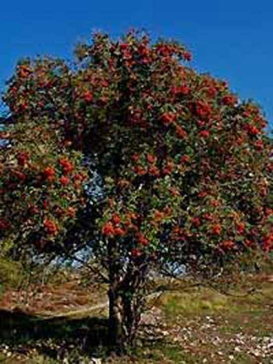 Sorbus Aucuparia Gemeine Eberesche Vogelbeere G 252 Nstig
