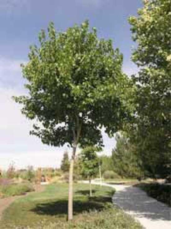 Maulbeerbaum Morus G 252 Nstig In Top Baumschulqualit 228 T Kaufen