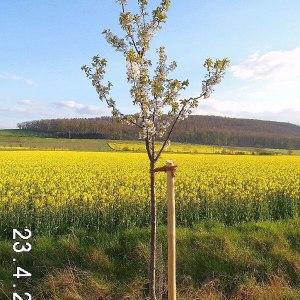 kirschbaum-hochstamm