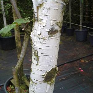 betula-jaquemontii-borke