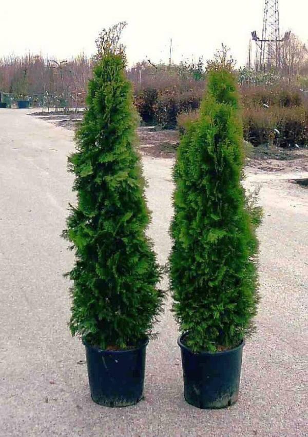 lebensbaum-thuja-occidentalis-holmstrup