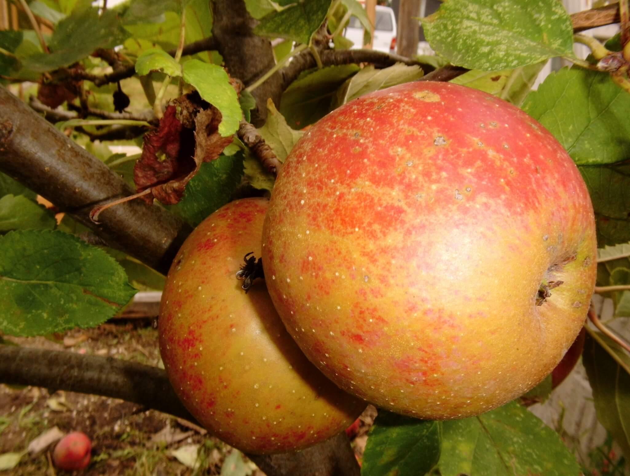 Große Apfelbäume