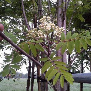 Ebereschen als Bäume