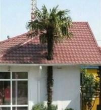 Palme wächst durch ein Hausdach