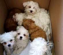 Lodi, SGOMINATA BANDA dedita al traffico di cuccioli