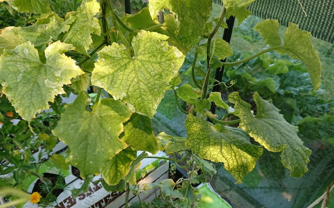 Bekæmpelse af spindemider på agurkplanter i drivhus