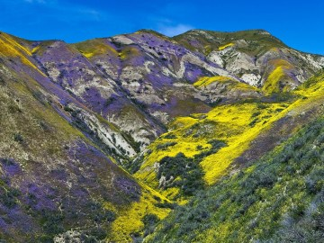 Guide to Carrizo Plain National Monument's Wildflower Bloom