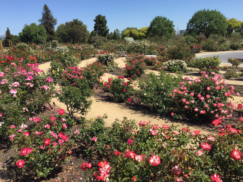 A South Bay garden of roses.