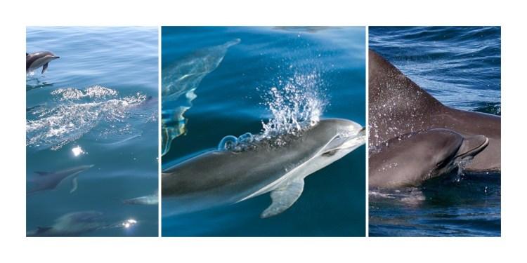 Bottle Nose Dolphins, Nelson Bay, Port Stephens