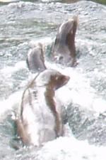Robben im Nürnberger Tiergarten