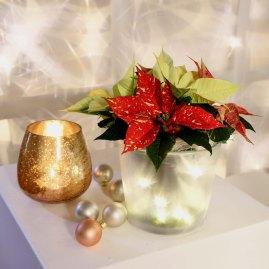 15 Sternenglühen - Lichterketten bringen den Weihnachtsstern zum strahlen