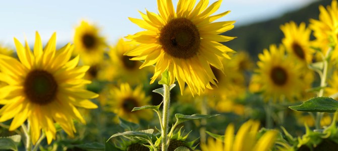 Sonnenuntergang im Sonnenblumenfeld