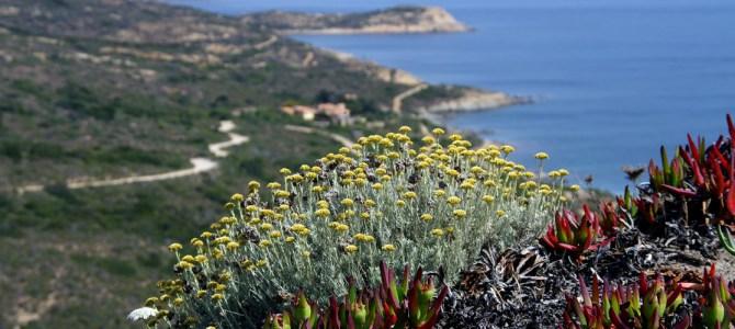 Der Geruch Korsikas: Die Immortelle