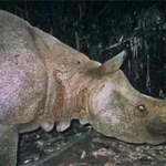 2 seltene Java Nashörner tot aufgefunden