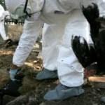 Vogelgrippe in Banda Aceh ausgebrochen