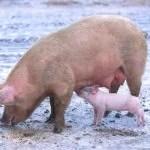 In Indonesien soll die Schweinehaltung verboten werden