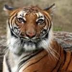 Von Tigern gejagt – Gruppe flüchtete mehrere Tage in die Bäume