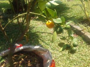 mandarinbaum1