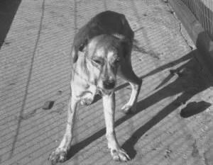 tollwütiger Hund - Foto: Wikipedia