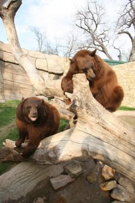 Image result for baylor bears mascot
