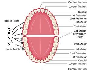 Tooth Chart for dental sealants