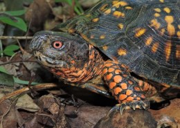 An adult male Eastern Box Turtle, showcasing bright orange legs and sunset-red eyes.