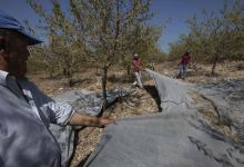 Photo of Almond harvest started in Cesme and Izmir