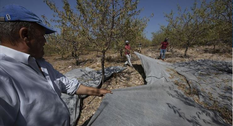 Almond harvest started in Cesme and Izmir 1