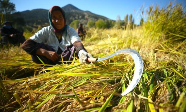Karakilcik rice produced at Bolu Celtikderesi is in high demand 1