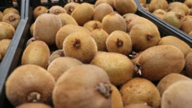 Photo of Turkish kiwi is stored in Yalova warehouses