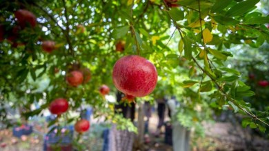 Photo of $ 20 million of pomegranate exports were made by the Western Mediterranean Exporters in Jan-Oct period