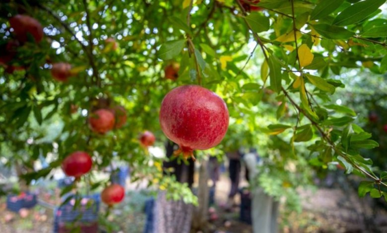 $ 20 million of pomegranate exports were made by the Western Mediterranean Exporters in Jan-Oct period 1