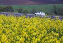 Canola cultivation area in Turkey is growing rapidly 11