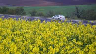 Canola cultivation area in Turkey is growing rapidly 5
