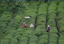Turkey's tea exports rise 17% in Jan-Nov 10