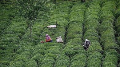 Turkey's tea exports rise 17% in Jan-Nov 23