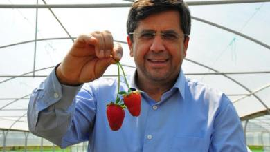 Strawberries produced in Manisa exported abroad with many demands 8