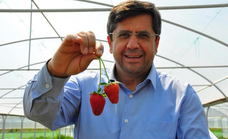 Strawberries produced in Manisa exported abroad with many demands 1