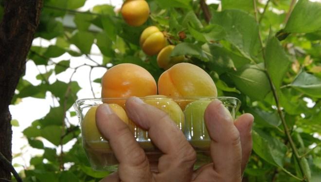 First apricot harvest of the season done in Silifke: $100 per kilo 1