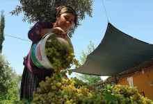 Grape Molasses production started in Cukurova 10
