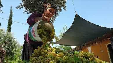 Grape Molasses production started in Cukurova 9