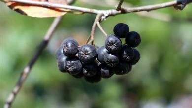 Geographical indication registered 'Yalova Aronia' harvest season started 7