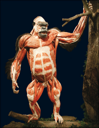 "The image ""https://i2.wp.com/www.bbc.co.uk/manchester/content/images/2008/01/18/bodyworlds_gorilla_02_350x450.jpg"" cannot be displayed, because it contains errors."
