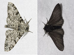 The two most common variants of the peppered moth, the one on the left showing how it got is name, and the one on the right showing the variant that became more common when air pollution darkened the bark on trees where the moth rests.  BBC image